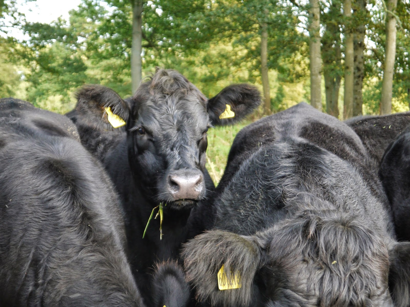 association aberdeen angus